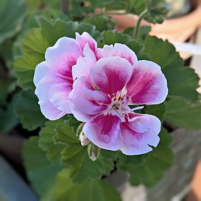 Plant, Flower, Geranium, Flowers, Red, Pink, Tender
