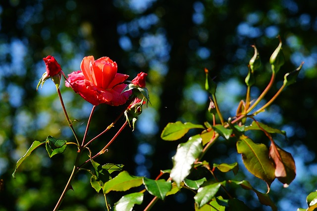Flowers, Roses, Red, Garden, Late Summer, Tender