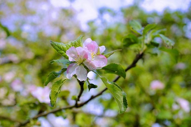 Apple Tree, Spring, Orchard, Blossom, Bloom, Tender