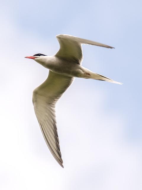 River Tern, Tern, Bird, Nature, Animal