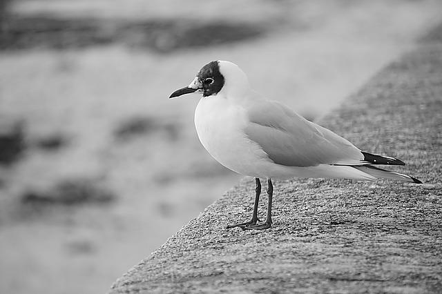 Bird, Seagull, Tern, Black And White, Sea ​​bird, Fauna