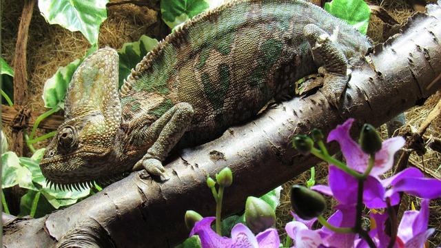 Reptile, Chameleon, Insect Eater, Terraristik
