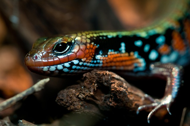 Splendor Skink, Reptile, Terrarium