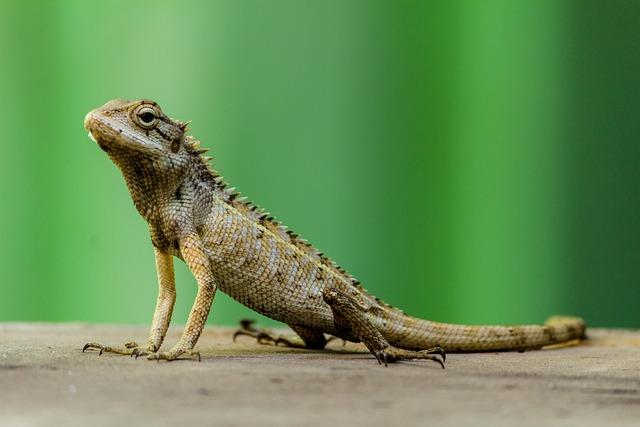 Terrestrial Animal, Reptile, Lizard, Wildlife, Animal