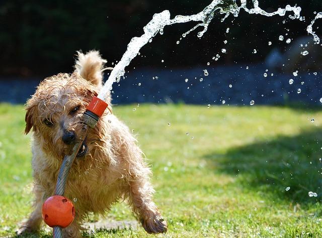 Dog, Garden, Terrier, Fun, Norfolk Terrier, Animal