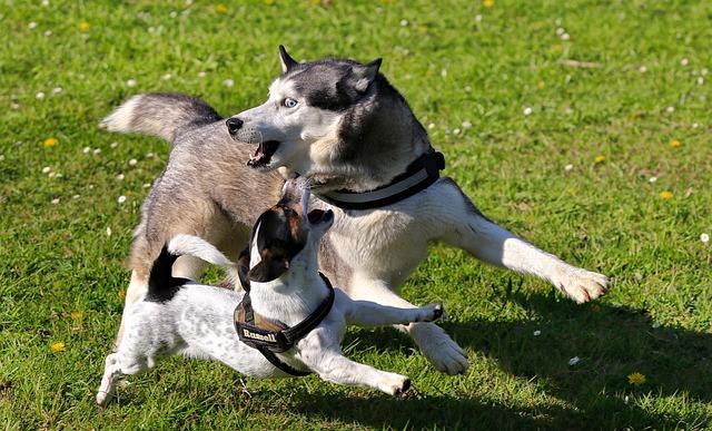 Husky, Jack Russell Terrier, Dogs, Terrier, Animal