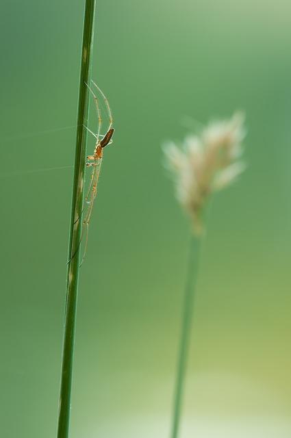 Strecker Spider, Tetragnatha Extensa, Spider, Nature