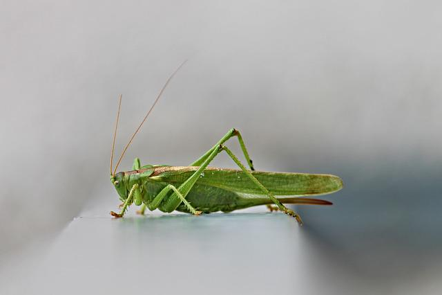 Tettigonia Viridissima, Viridissima, Grasshoppers