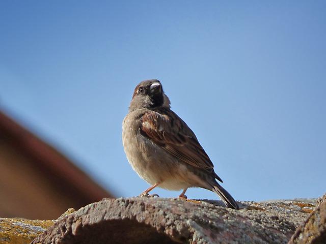 Sparrow, Bird, Roof, Texas