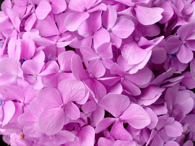 Hydrangea, Petal, Texture