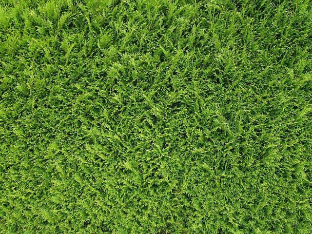 Thujenhecke, Hedge, Thuje, Thuja, Texture, Pattern
