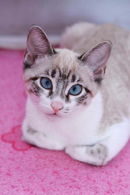 Cat, Thai Cat, Siamese Cat, Pet, Domestic Cat