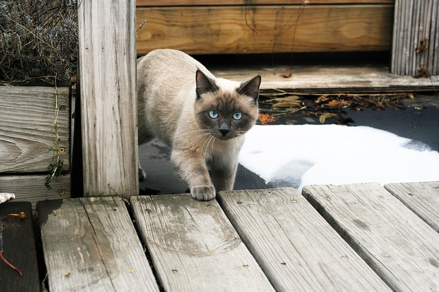 Wood, Animals, Outdoors, Cat, Thai Cat, Siamese Cat