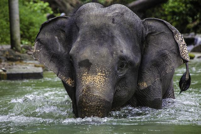 Asian Elephant, Elephant Calf, Thailand, Phang-nga
