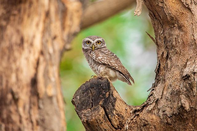 Spotted Owlet, Bird, Thailand, Nature, Brown Birds