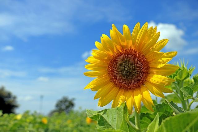 Thailand, Sunflower, Sky, Yellow