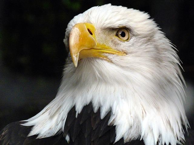 The Animal, Adler, White Tailed Eagle, Bald Eagle