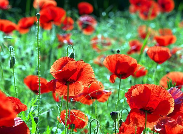 Poppies, Red, Flowers, The Beasts Of The Field, Wild
