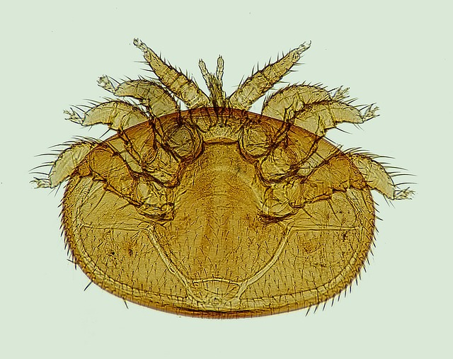 Varroa, Mite, The Bee Parasite