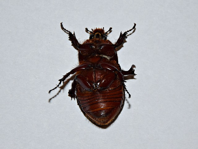Beetle, Macro, Insect, The Beetle, Closeup, Garden