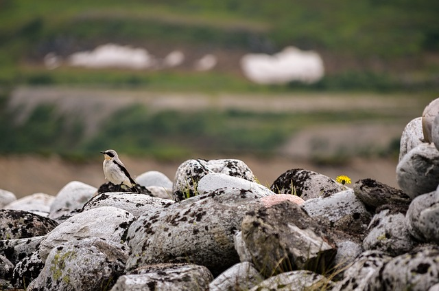 Stone Pocket, Oenanthe, Bird, The Birds, Rocky