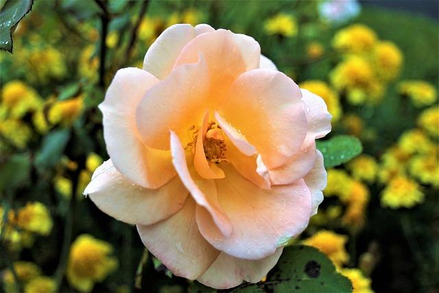 Autumn, Rose, Rain, Tea, The Delicacy, Rose Flower