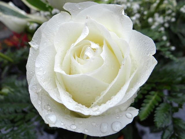 White Rose, All Saints ' Day, The Feast Of The Dead