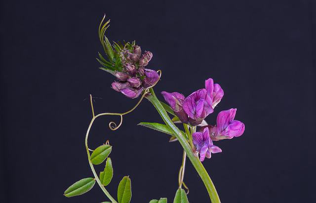 Vetch, The Fence Wicke, Fabaceae, Pointed Flower
