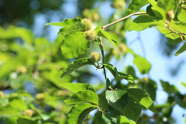Beech, Tree, The Fruit Of The Beech, Nature, Spring