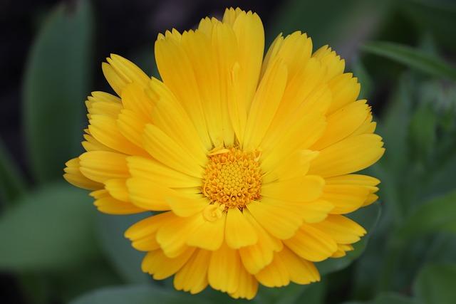 Marigold, Calendula Officinalis, The Garden Marigold