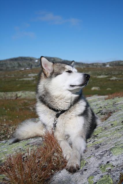 Alaskan Malamute, The Hardangervidda Mountain Plateau