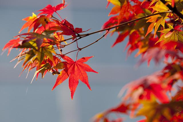 Autumn Leaves, Autumn, Red, Nature, Leaves, The Leaves