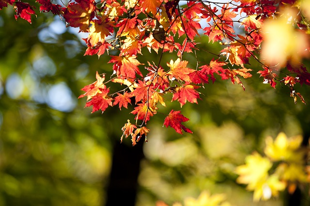 Autumn Leaves, Autumn, Red, Wood, The Leaves, Leaves