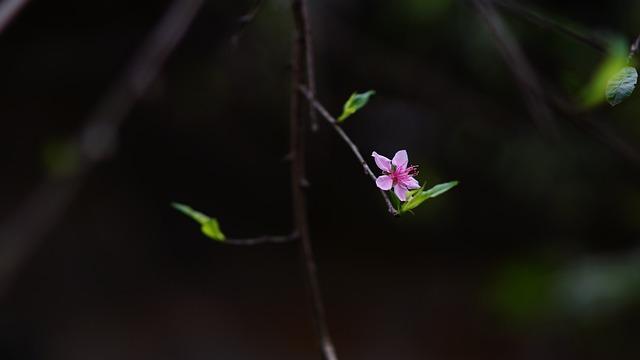 Cherry Flowers, Flower, The Lunar New Year