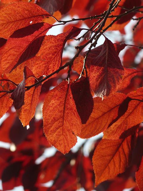 Foliage, Autumn, Red, The Maturity Of The
