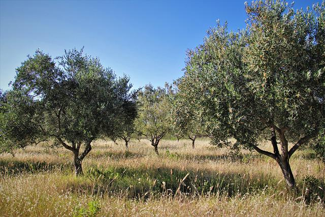 The Olive Tree, Olive Grove, The Olives, Agriculture