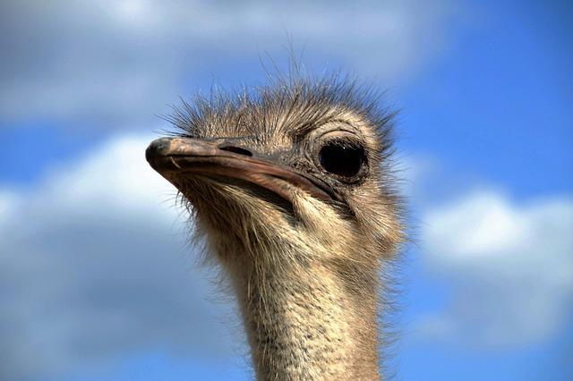 The Ostrich, Head, Grimace, View, Stupid, Bird