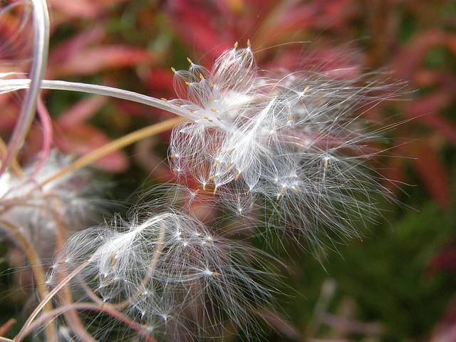 Fireweed, Flower, Seeds, Pod, The Parachutes, Autumn