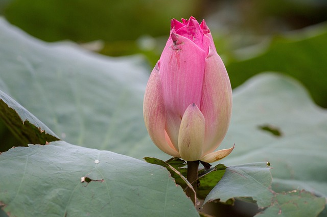 Lotus, Flowers, The Pink Flowers, Lotus Colors, Nature