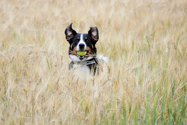 Appenzell, Ball, Cornfield, Autumn, Pet, The Playground