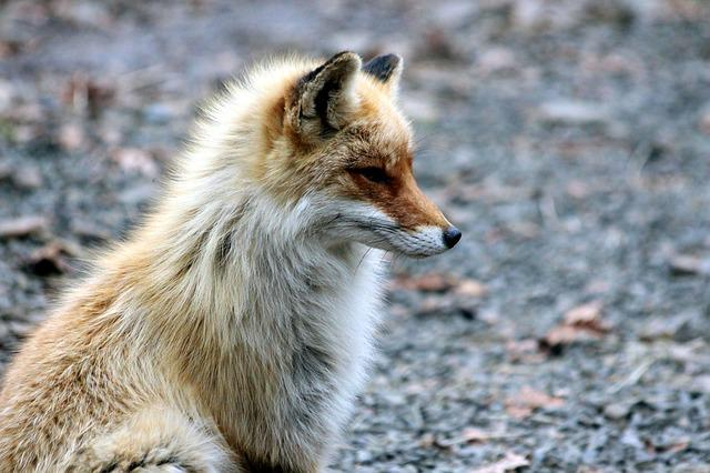 Fox, The Red Fox, Vulpes Vulpes, Red Fox, Forest Animal