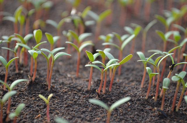 Tomato, Shoots, The Sapling, Seed Germination, Green