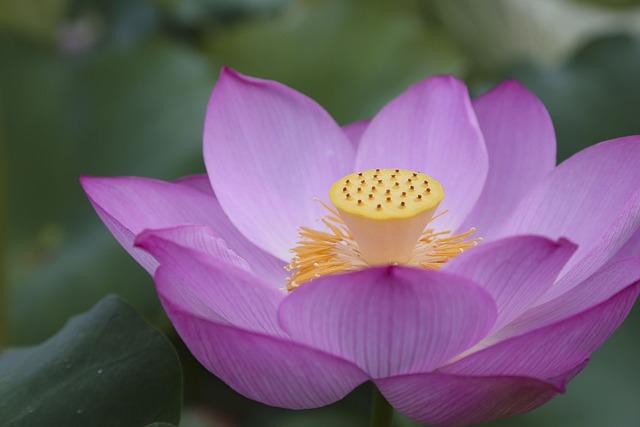 Lotus, The Scenery, Natural