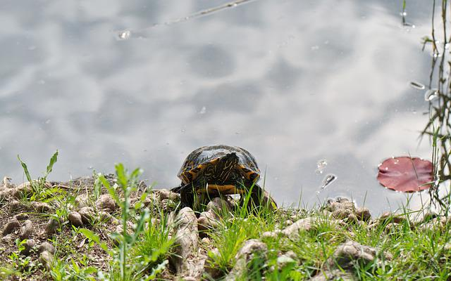 Turtle, Shell, Up, The Shores Of The Lake, Water