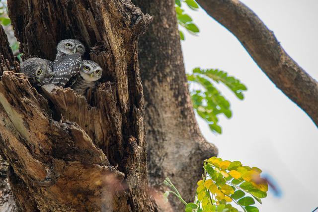 The Spotted Owlet, Athene Brama, Spotted Owlet, Bird