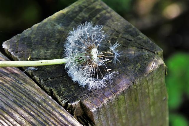 Dandelion, Spring, Wood, The Structure Of The, Fluffy