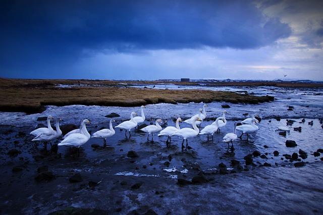 Swan, The White Swan, Lake, Animal, Iceland