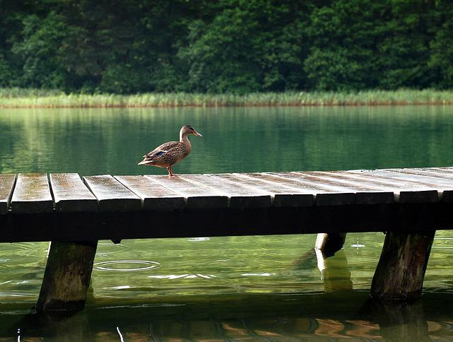 Duck, The Wild Duck, Lake, Bridge, Bird, Wild Birds