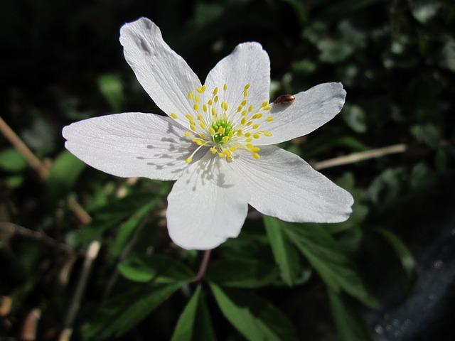 Anemone Nemorosa, Wood Anemone, Windflower, Thimbleweed