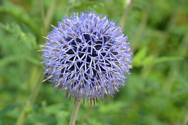 Thistle, Globe Thistle, Flower, Plant, Blossom, Bloom